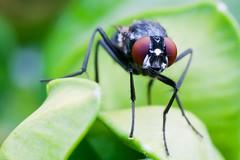 Mosca Comun (onthenay) Tags: naturaleza insectos macro canon natura macrofotografa canon400d canonistas moscacomun tamrom90mm28