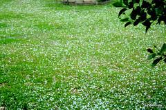 olha o gramado como ficou (Mandeandrade) Tags: chuva curitiba granizo temporal colombo tempestade pinhais chuvaforte chuvadepedra chuvadegranizo mandrade mandeandrade chuvadegelo