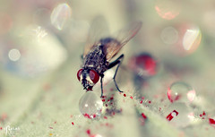 Drinking fly (2/2) ( Explore ) (Rehab Saleh || ) Tags: