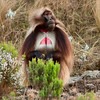 Dominant male Gelada Baboon (johnadowney2) Tags: roadtrip ethiopia et amhara guassa