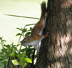 The Impersonator! (Tony Tanoury) Tags: tree nature animal fur rodent squirrel michigan wildlife ngc redsquirrel tamiasciurushudsonicus supershot americanredsquirrel specanimal