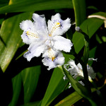 #1487 crested/fringed iris (シャガ・コチョウカ) thumbnail