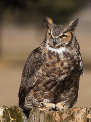 Great Horned Owl (jimehle58) Tags: