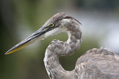 Great Blue Heron (Tony Tanoury) Tags: wild bird heron nature wet animal closeup fauna bill orlando florida wildlife ngc beak feather ornithology birdwatching greatblueheron avian ardeaherodias paololivornosfriends