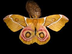 Antherina suraka (Female) (Lepsibu) Tags: