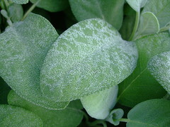 "Salvia Officinalis ""Berggarten"" Lamiaceae (twacar) Tags: commonsage fruits herbs sage usefulplants vegetables gardenorigin plants montreal montrealbotanicalgarden"