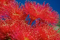 A bees delight (Deb Jones1) Tags: flowers red flower macro nature floral beauty canon garden gum botanical outdoors flora australian australia blooms gumtree gumflowers flickrduel debjones1