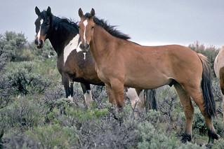 Wild Horses on Steens Mountain