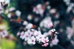 Un pice (SantiMB.Photos) Tags: flowers espaa flores primavera geotagged 50mm spring xprocess minolta bokeh plum bloom esp prunus cataluna ciruelo cunit epphcbs geo:lat=4120408783 geo:lon=161901891