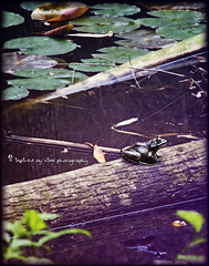 """""""Ribbit"""" (inspiredbytimephotography) Tags: reflection water canon outdoors alabama naturallight toad critters prattville autaugacounty prattvillealabama flickraward canoneos60d inspiredbytimephotography"""