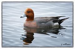 Eurasian Wigeon - Kents Pond (Tomcod) Tags: bird nature newfoundland bill duck dance wings dancing wildlife beak feathers stjohns avalon avian bif puddleduck dabbler