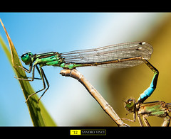 Libellula Damigella - Accoppiamento  [Explore] (Sandro V-R ) Tags: macro love nature colors 50mm amazing eyes nikon heart dragonfly details ngc natura ombre ali explore luci sharpen colori occhio inverso libellula mondo dettaglio sfocato contrasto d80 accoppiamento sandrovinci