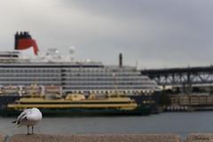 Shy Guy (Sasha Kravets) Tags: harbor seagull sydney australia operahouse liner