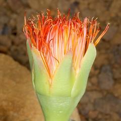 Machairophyllum albidum © Peter A. Mansfeld, level6.de (2012)