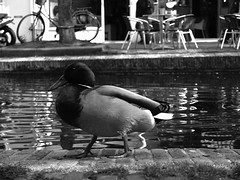 Duck (Thijs89) Tags: bw white black water netherlands duck nederland delft eend