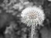 NAstrukTUR (goehler.mike) Tags: blackwhite dandelion schwarzweiss colorkey pusteblume colorkeying