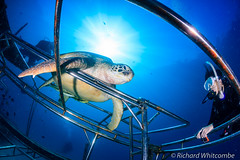 Human v Turtle staring contest. (WhitcombeRD) Tags: ocean life blue sea sun green water coral island person marine asia ray underwater turtle under scuba diving malaysia hawksbill tropical sunburst diver burst reef mabul sunray standoff artificialreef