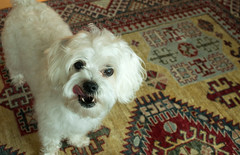 DSC_0036 (dclarine) Tags: dog schnauzer maltese britney mixbreed mauzer schnauzermaltese malteseschnauzermix