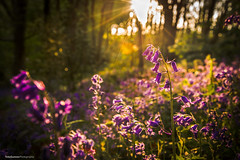 DSC_6127 (TDG-77) Tags: flowers sunset bluebells nikon d750 nikkor f4 24120mm