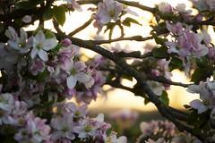 rosa Wolken (Fingerhut und Ringelblume) Tags: apple blossom apfelbaum abends apfelblten