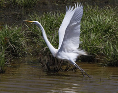 Great Egret (AllHarts) Tags: ngc npc greategret spac hollyspringsms naturescarousel ms311