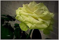 Uma rosa amarela (o.dirce) Tags: flower planta nature natureza flor rosa amarela odirce