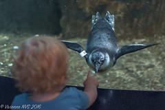 Curiosity (SF knitter) Tags: california bird swimming amigo penguin aquarium monterey montereybayaquarium chick curiosity africanpenguin montereypeninsula africanblackfootedpenguin