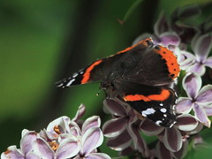 Red Admirals in the forest   :) (Paridae) Tags: butterfly insects redadmiral flutterby afewofmyfavouritethings vanessaatalanta thingswithwings bloomsandbutterflies canoneos7d gardencritters insectsofbritishcolumbia butterfliesofbritishcolumbia butterfliesofcanada butterfliesoflangley