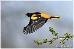 Oriole in flight (Earl Reinink) Tags: ontario bird nikon niagara earl oriol baltimoreoriole birdphotography northernoriole nikond5 earlreinink reinink tioddaodra