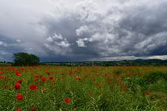 Ciel d'orage (Excalibur67) Tags: red cloud storm nature landscape rouge nikon sigma ciel poppies d750 nuages paysage orage coquelicots pavots 1224f4556iidghsm