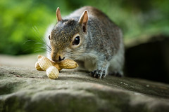 Mine! (steelegbr) Tags: uk food cute green nature animal pose mammal grey scotland rodent squirrel natural fife eating nuts peanuts dunfermline