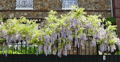 Wisteria blooming over a garden fence - Sceaux, France (Monceau) Tags: france fence garden wisteria sceaux blooming
