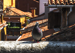 Questioning Pidgey (Venice, an house's roof) (filippogatteschi) Tags: pidgeon animal flying pidgey bird urban wildlife roofs venice venezia stone bricks rooftops colors contrast high vivid photoshop cs6 canon eos 70d tamron 24 70 landscape close up detail funny adorable balcony divertissment entertainment random picture capture stare