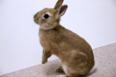 Ichigo san 218 ICHIGO san  (mensore) Tags: family pet brown cute rabbit bunny dwarf netherland ichigo   netherlanddwarf