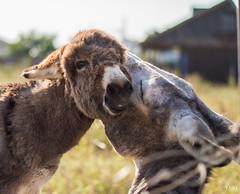 jugando (JaviJ.com) Tags: espaa animal fauna spain donkeys donkey el andalucia burro cadiz burros burrito palmar