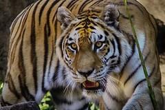 on the prowl (ucumari photography) Tags: sc animal june cat mammal stripes south tiger columbia bigcat carolina stare siberian amur riverbankszoo 2016 theeyes specanimal dsc5254 ucumariphotography