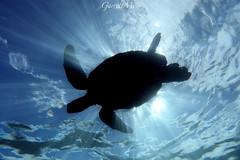 1C3A3434 (garrettmoss84) Tags: ocean life sea green beach silhouette canon hawaii turtle wildlife dive salt diving maui honu nationalgeographic makena natgeo