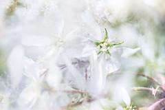 Flora Plenteous 60 (pni) Tags: flower suomi finland leaf helsinki petal multipleexposure helsingfors tripleexposure multiexposure skrubu pni pekkanikrus