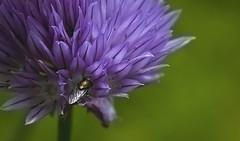 Macro Mondays Striped petals (anek07) Tags: summer flower macro green june bug fly wings nikon purple stripes chive macromondays annaekman stripedpetels
