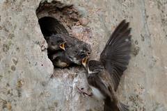 #2 of 10 - Me me me! (Steve Balcombe) Tags: urban bird concrete sand martin nest feeding wildlife watching young somerset chicks birdwatching burrow hirundine ripariariparia fledging riparia
