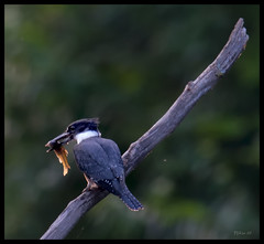 Kingfisher with Fish at Forest Park Wetlands - No 2 (Nikon66) Tags: nikon stlouis missouri kingfisher forestpark d800 600mmnikkor