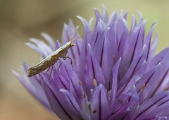 Caddis Fly (PaulEBennett) Tags: flower macro bug insect herb chive caddisfly
