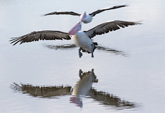 Pelicans coming into land (christinaportphotography) Tags: pink wild reflection bird birds flying focus dof bokeh free australia pelican landing nsw centralcoast courting australianpelican pelecanusconspicillatus