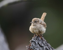 Fluffy young house wren. Troglodytes aedon (jlcummins - Washington State) Tags: bird nature washingtonstate yakimacounty bethelridge