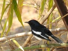 Oriental Magpie-Robin (sudheer_pandey) Tags: india robin birds canon bhopal orientalmagpierobin copsychussaularis sx130 vanvihar vanviharnationalpark canonpowershotsx130