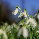 Snowdrops on Blue thumbnail
