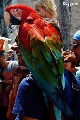 Loro (Ruggerio90) Tags: blue red verde green bird animal azul rojo nikon colours beak feather croatia parrot colores ave pico pluma dubrovnik croacia loro pjaro ruggerio d3000 nikond3000 ruggerio90