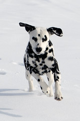 Preparing for Take-Off (C-Dals) Tags: winter dog snow nikon dalmatian d5100