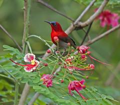 Eastern Crimson Sunbird 1 (mishko2007) Tags: sabah aethopygasiparaja easterncrimsonsunbird 150500