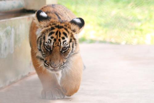 Tiger Kingdom, Chiang Mai (Thailand)